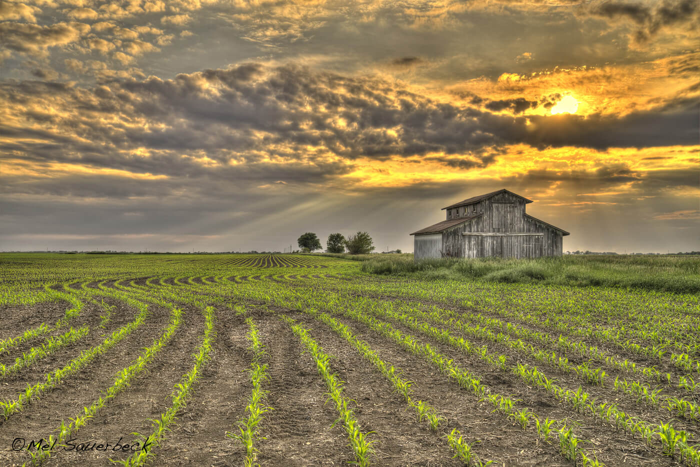 Sunset view of farm with early growth of bright green corn rows in field. High dynamic range photo, HDR In Packwood, Iowa