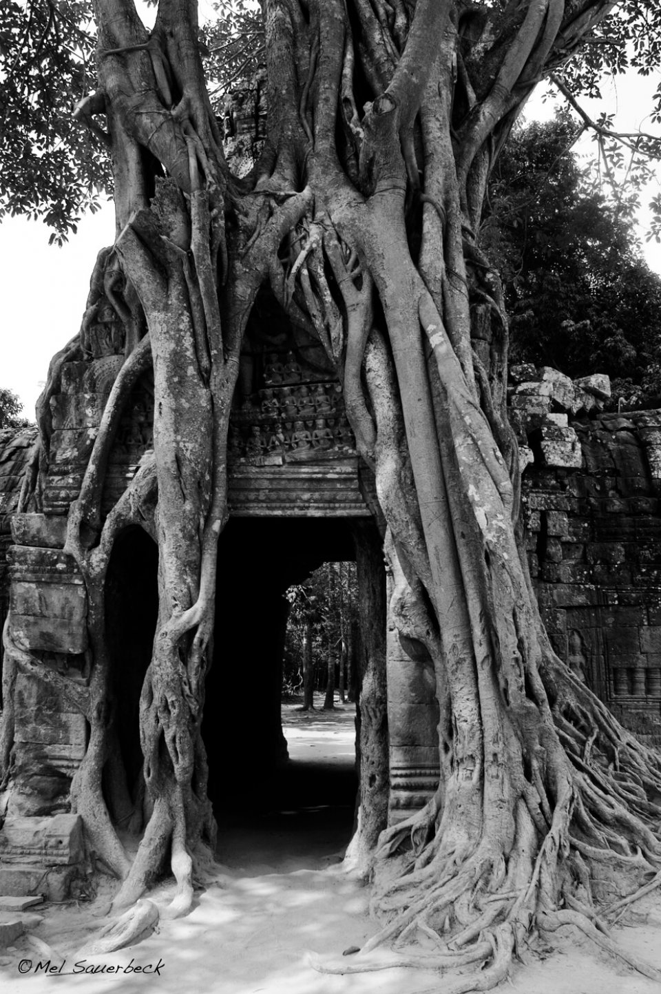 Ancient tree on temple wall, Angkor Wat, Cambodia